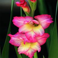 荷兰进口观花种球根盆栽植物花卉唐菖蒲种球剑兰种球可水培