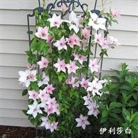 爬藤绿植植物攀援花卉铁线莲2年苗种根多品种选择买二送一