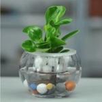 批发水培花卉豆瓣绿碧玉室内水生植物防辐射四季常青小盆栽