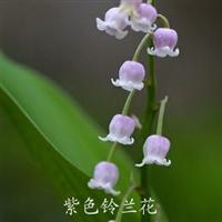 盆栽庭院植物香型铃兰花苗根球根花卉防辐射绿植创意多色可选