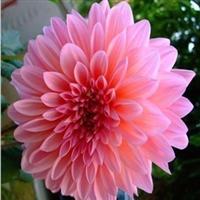 特价多个品种进口球根花卉【大丽花】大丽菊种球.盆栽植物