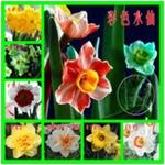 水仙花批发水仙花种球大种球花卉种子洋水仙水培植物盆栽