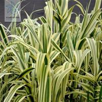 批发水生植物水葱,再力花,鸢尾,水菱,水浮莲,苦藻。菹藻