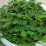 批发含羞草种子-感应草批发种子香草种子含羞草苗室内盆栽