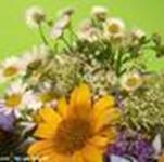 菊花组合波斯菊花色好看新�竦闹肿泳栈�苗品种多菊花种子