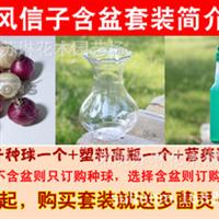 进口风信子种球水培花瓶套装绿色花卉创意桌面盆栽洋水仙