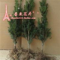 盆栽绿植正宗曼地亚红豆杉盆景苗6年苗当年结果苗