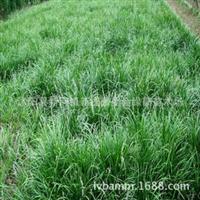 基地直销优质矮生麦冬草地被植物金边麦冬草批发货源充足