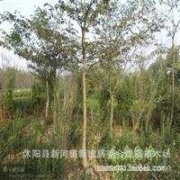 基地直销优质灯台树中华灯台树灯台树小苗批发规格齐全就价格优惠