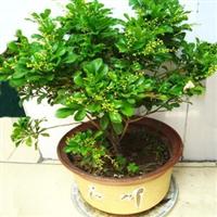 批发盆栽植物米兰花苗四季花期净化空气植物