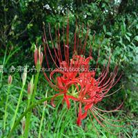 种球花卉彼岸花种球龙爪花红色石蒜种球曼珠沙华可盆栽