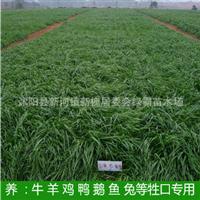 牧草种子批发牧草籽南北方多年生黑麦草种子产量高营养丰富