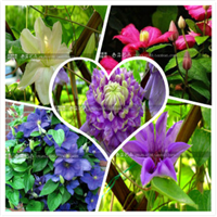 盆栽地栽进口铁线莲种球藤本皇后盆栽攀援花卉24个品种
