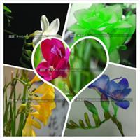 批发优质种球花卉香雪兰种球姜花种球盆栽室内植物