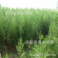 侧柏基地供应优质扁柏侧柏小苗批发绿化灌木价格优惠