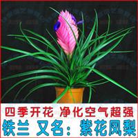办公室桌盆栽四季常绿净化空气去甲醛铁兰紫花凤梨花期近8个月