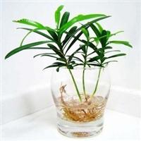 基地直销优质日本罗汉松苗净化空气吸收罗汉松苗批发盆栽
