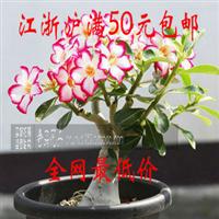 促销价植物盆栽沙漠玫瑰苗重瓣室内耐寒耐旱办公室净化空气