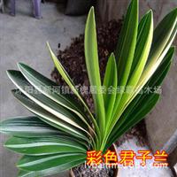 批发植物盆栽花卉君子兰四季常青室内种植高档大气