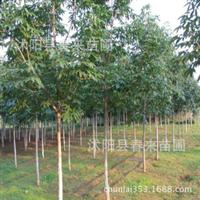 基地直销优质七叶树绿化乔木行道树工程苗木规格齐全