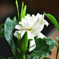 绿植盆栽栀子花苗花香浓郁牡丹栀子花办公室花卉室内植物