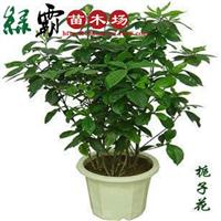 大量出售栀子花盆栽批发盆栽植物花卉量大优惠规格齐全