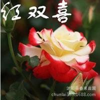 月季基地直销精品月季苗玫瑰苗地被月季丰花月季批发