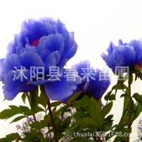 牡丹基地低价出售牡丹花苗当年开花品种多批发各类盆栽植物