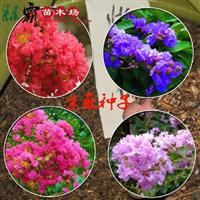 花卉种子优质紫薇种子当年新采发芽率高种子批发
