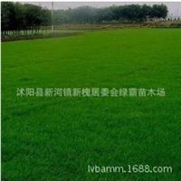促销庭院专植草坪种子早熟禾种子蓝天鹅无需修剪