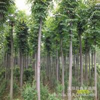 基地直销优质绿化乔木栾树栾树小苗批发规格齐全货源充足
