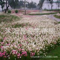 基地直销优质园林景观宿根植物葱兰红花葱兰葱兰小苗批发