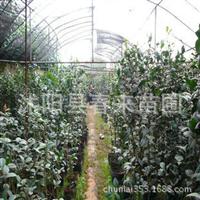 基地直销优质茶花规格齐全批发茶花苗绿化苗木货源充足
