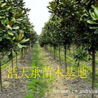 浩天承苗圃长期供应绿化树苗广玉兰,米径5公分广玉兰