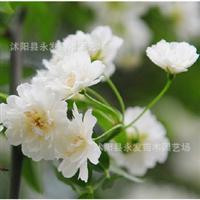 供应木香蔷薇科七里香盆栽开花较香木香花苗庭院攀援种植