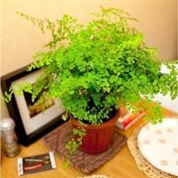 办公室居家室内绿植盆栽花卉铁线蕨净化空气吸甲醛