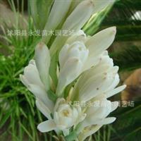 批发球根花卉晚香玉花白色有芳香夜晚更浓当年开花品种多