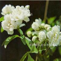 苗圃木香蔷薇科七里香盆栽开花较香木香花苗庭院攀援种植