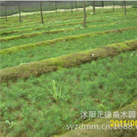 花卉种子白皮松小苗白皮松种子厂家直销当年新种品质保证