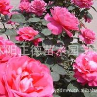 低价批发月季花月季种子月季小苗(红、粉、黄、蓝)量大优惠