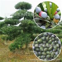批发苗木种子罗汉松种子冷藏珍珠/�M叶/红芽//台湾兰屿/保出芽