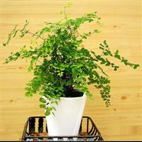 特价销售易养超可爱铁线蕨(小盆)可长期放室内吸甲醛植物