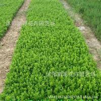 批发绿化工程苗圃用苗小叶黄杨苗,扦插小苗床苗地被类品种多