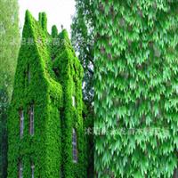 攀援植物美国地锦五叶地锦爬山虎爬藤植物耐寒耐旱爬墙高手