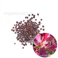 批发林木种子紫荆种子又名满条红洋紫荆紫株花花卉种子