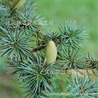批发新采雪松种子雪松树苗别名香柏松柏类植物绿化行道树苗
