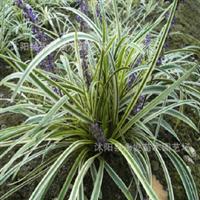供应金边麦冬草庭院栽植四季长青盆栽彩色麦色草品种多优惠