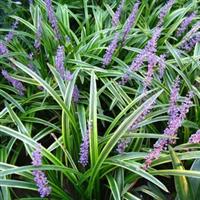 秒杀价格庭院绿化地被花草【金边麦冬】地被植物.绿化苗木