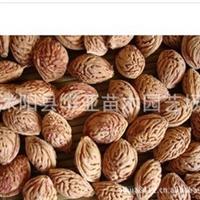 供应绿化苗木种子桃树种子毛桃种子可嫁接