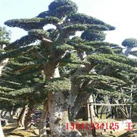 【湖南榆树基地】供应20公分造型榆树造型优美价格从优专车送货
